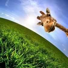 giraffa sul prato